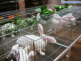 Làm giàu từ chăn nuôi thỏ